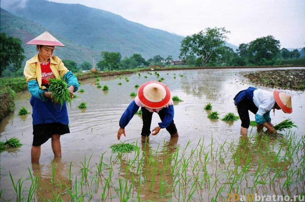 Рис в Китае - как выращивают, готовят, едят.