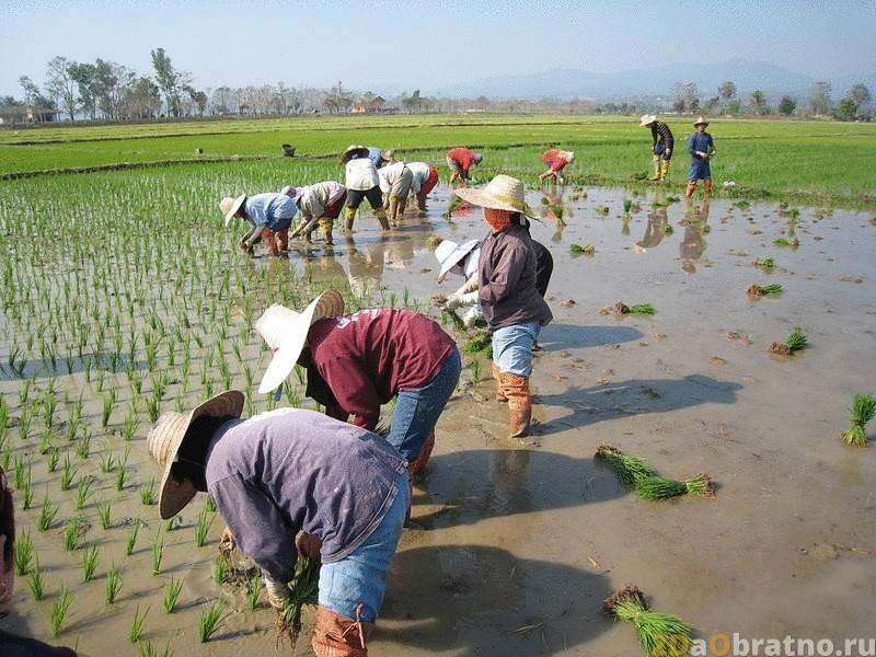Рис в Китае – как выращивают, готовят, используют, сколько стоит.